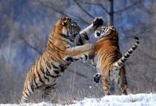 属虎和什么生肖相配?