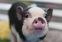 生肖猪最忌讳的颜色有哪些?