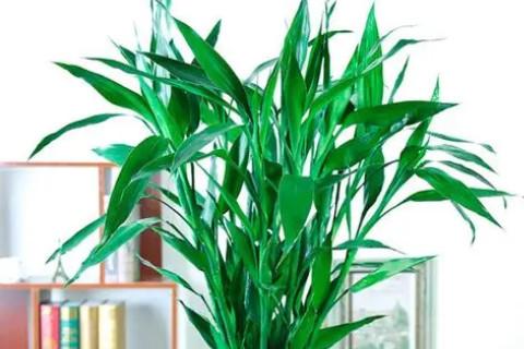 招财竹放在客厅哪里好?