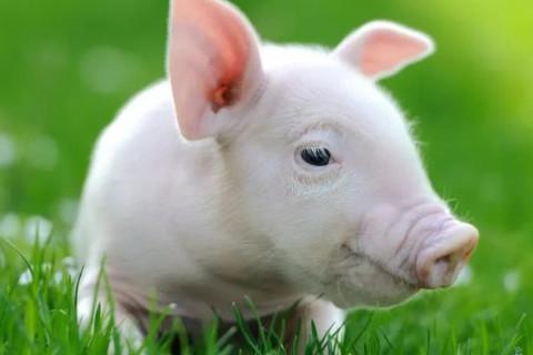 属猪什么时辰出生最好?
