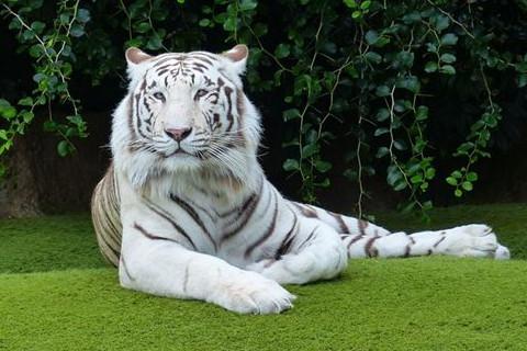 属虎上等命的出生时辰有哪些?