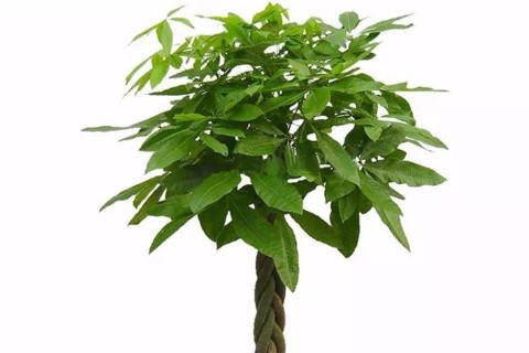 发财树摆放位置风水讲究
