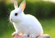 生肖兔生于哪年?