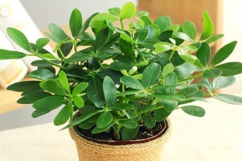 什么植物放在家里可以辟邪镇宅?