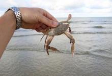 孕妇梦见抓螃蟹是什么意思?